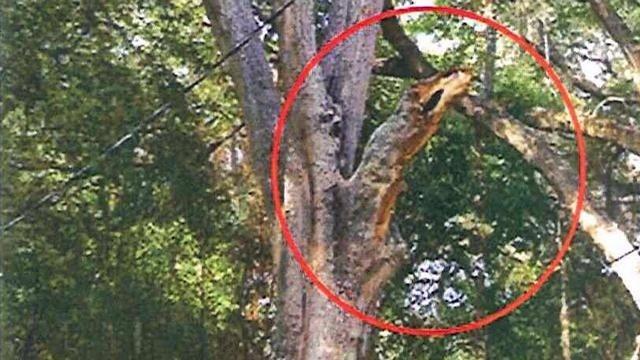 Tree That Fell On Aubrey Stewart