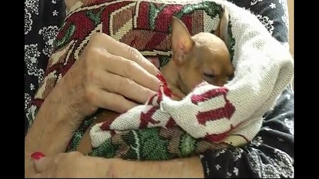 Chihuahua puppy 2