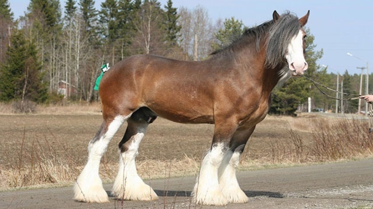 Budweiser Clydesdales ...
