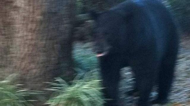 Longwood bear
