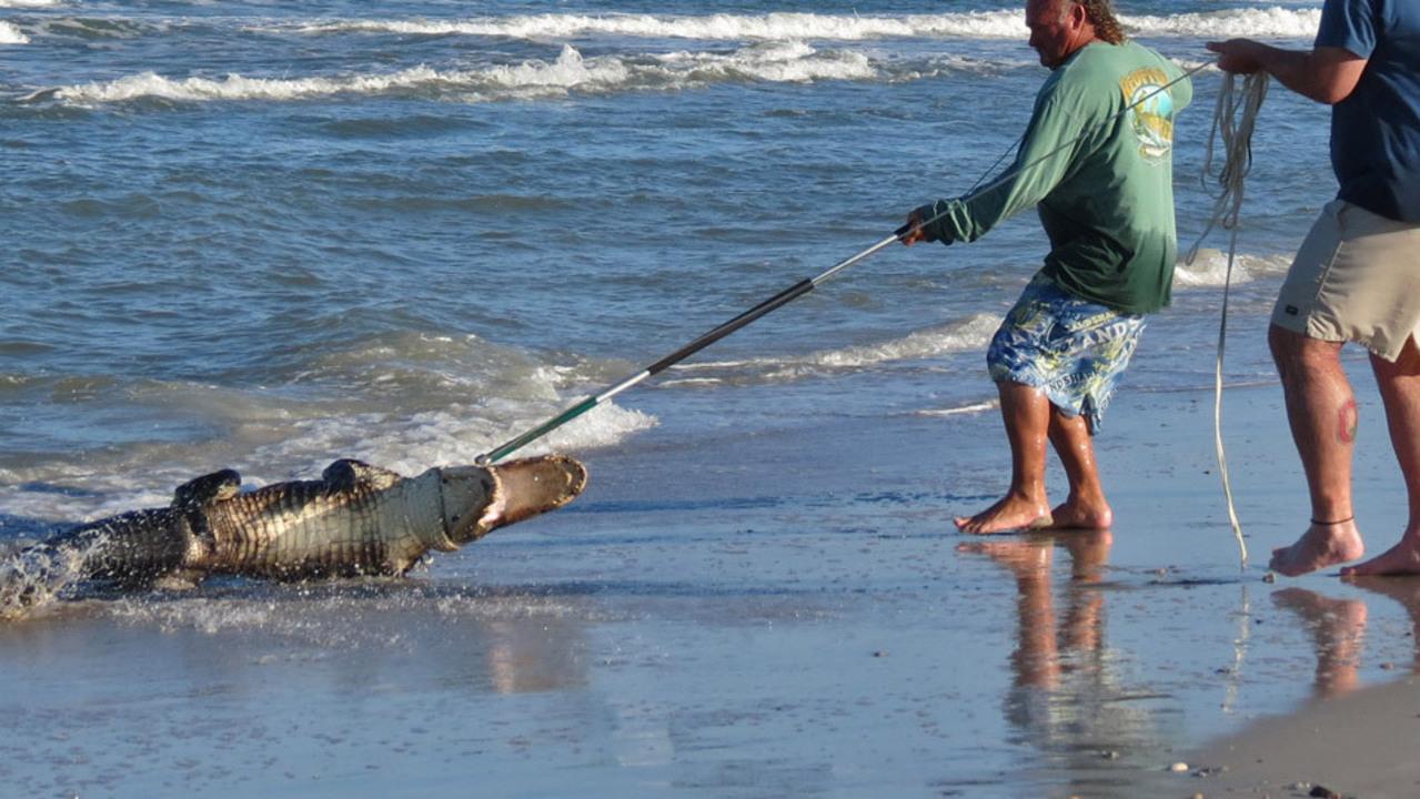 Gator Creates Stir On Fernandina Beach
