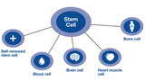 The amazing stem cell