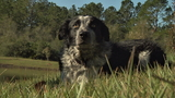 UNF hires Border collie to solve Canada geese problem