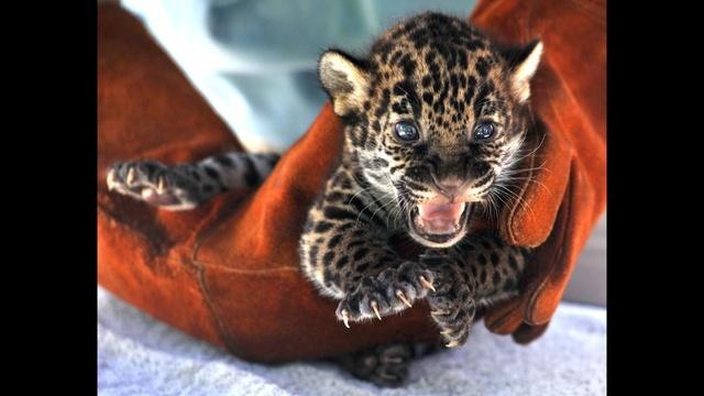 Khan-the-jaguar-2-jpg.jpg_34221484