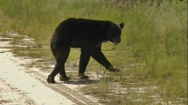 Bear released at Camp Blanding