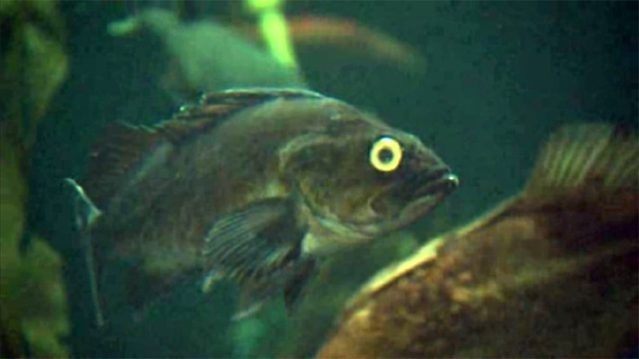 Commercial fishermen fight to fish near nasa for One eyed fish