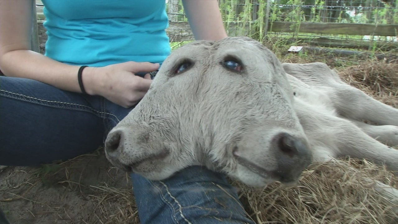 Holy Cow 2-Faced Calf Born In Baker County-5967