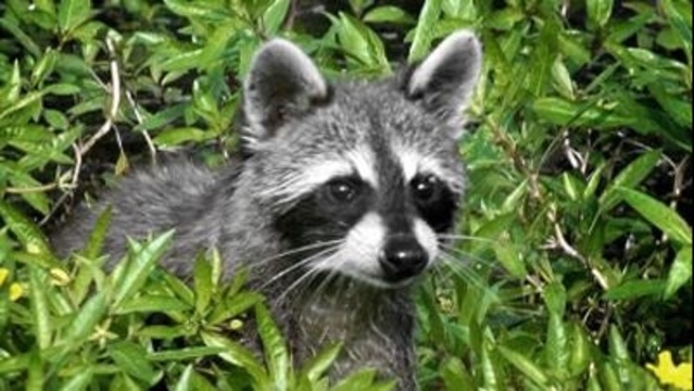 Rabid Raccoon_2366692