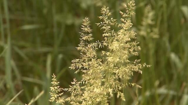 Tight-shot-grass-pollen.jpg_25288190