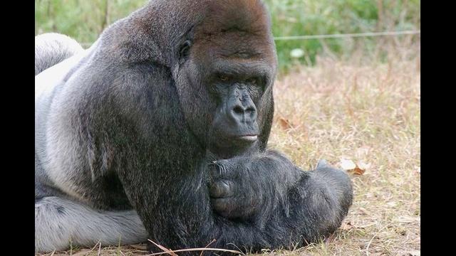 Quito the gorilla