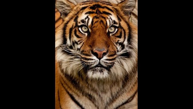Tiger_19578118