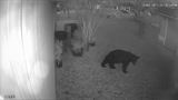 Wandering black bear moves into Nocatee, FWC says