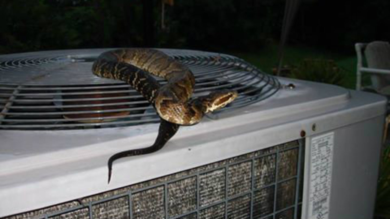 St Augustine Man Finds Cottonmouth Snake On Ac Unit