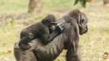 Jacksonville zoo starts construction on new ape exhibit