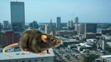 Jacksonville ranks among top cities infested by roof rats