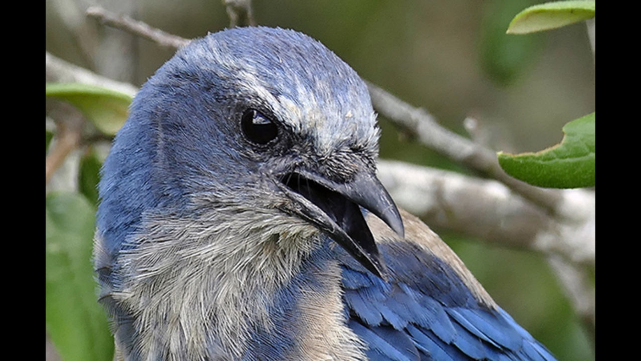 Saving The Florida Scrub Jay