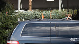 How to safely bring your Christmas tree home