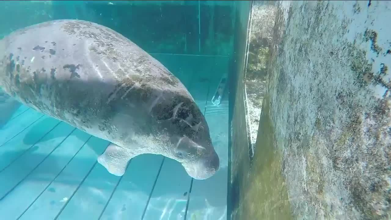 Jacksonville Zoo Working To Save Critically Sick Manatee