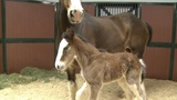 Clydesdale farm welcomes newest colt