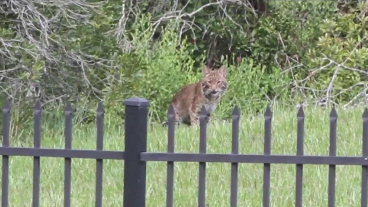 2nd bobcat sighting this month in northern St  Johns County