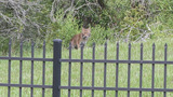 2nd bobcat sighting this month in northern St. Johns County