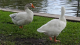 Children seen pelting geese with fruit near 'Duck Pond,' neighbors say