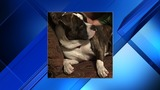 PD: Pit bull mix shot, killed after attacking service dog in Fernandina Beach