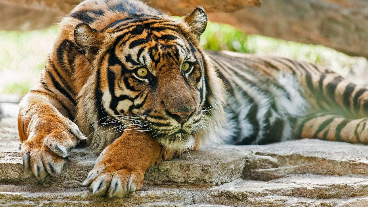 jacksonville zoo s sumatran male tiger dies at age 17