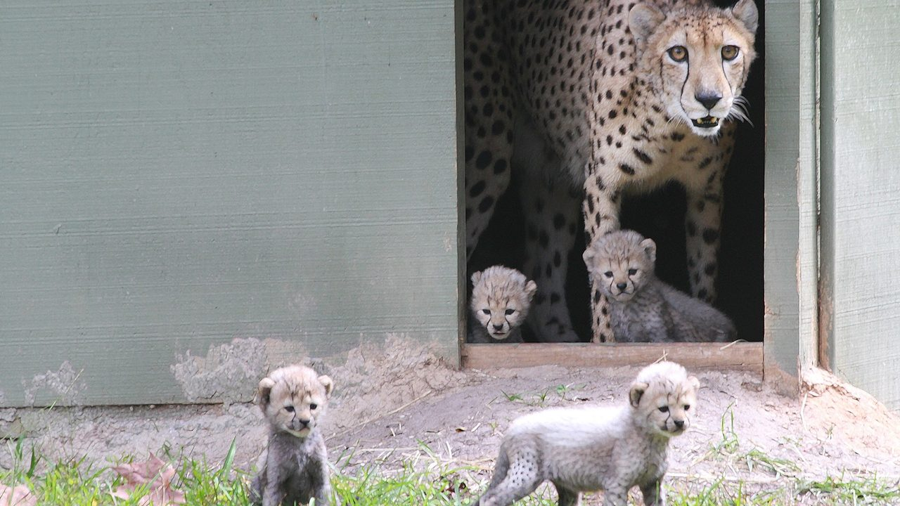 Photos: 4 cheetah cubs born at wildlife refuge in Yulee