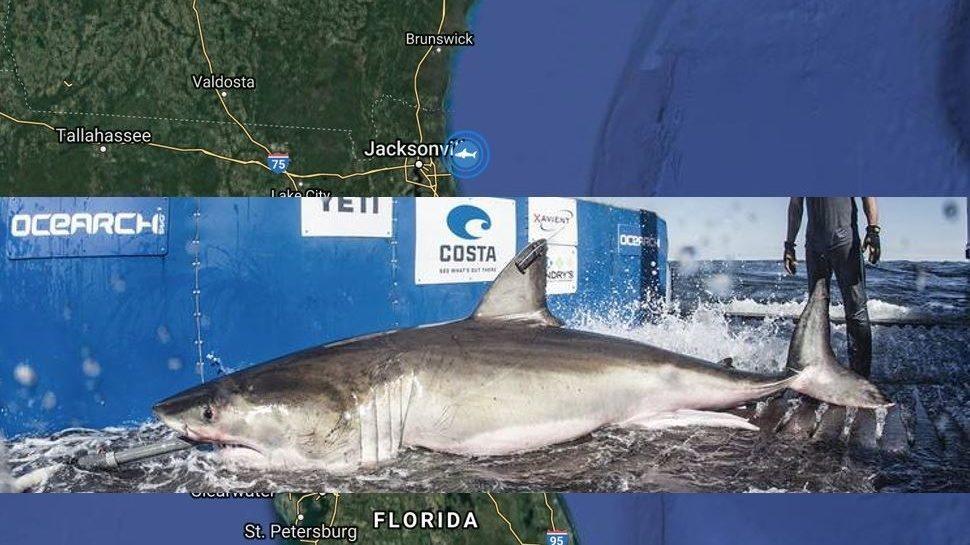 Hilton, a 1,326-pound white shark, pings near Jacksonville Beach