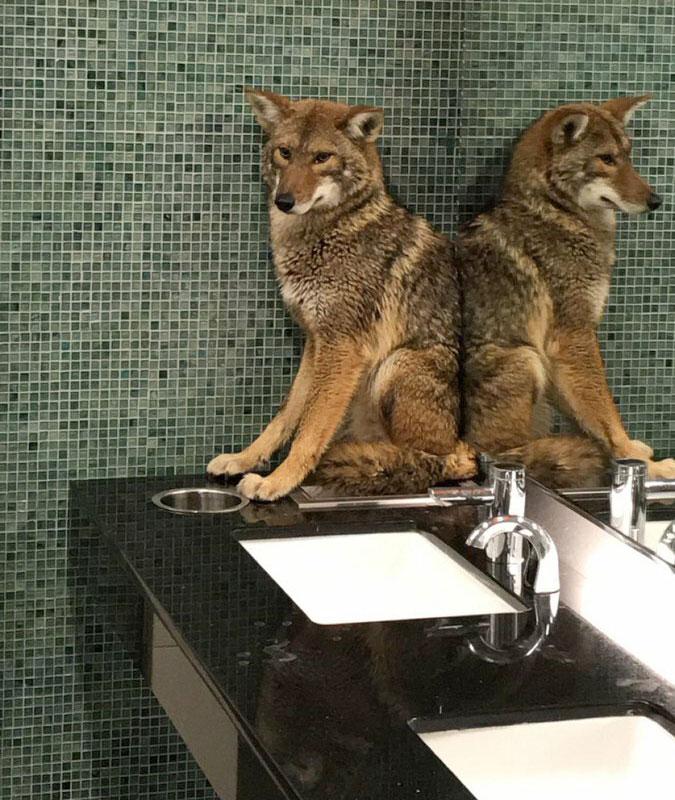 Coyote in Nashville bathroom