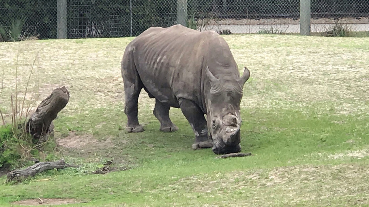 Jacksonville zookeeper injured by rhino's horn, zoo says