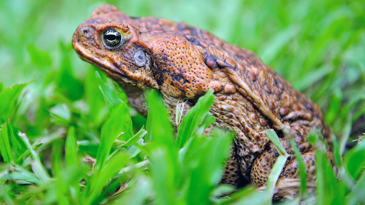 Poisonous toads infest suburban Florida neighborhood
