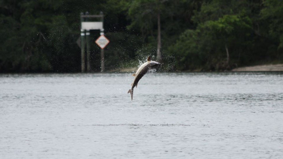 Wildlife officials warn boaters to watch out for sturgeon