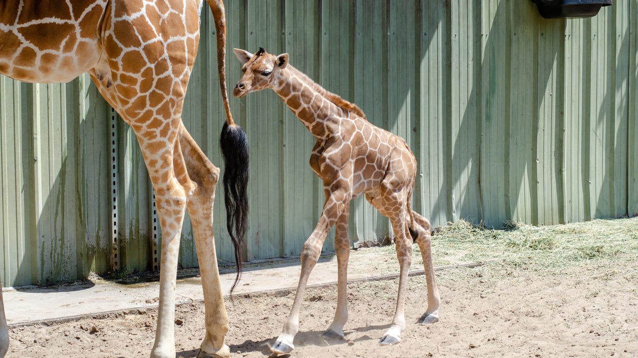 Jacksonville Zoo welcomes second baby giraffe in 5 days