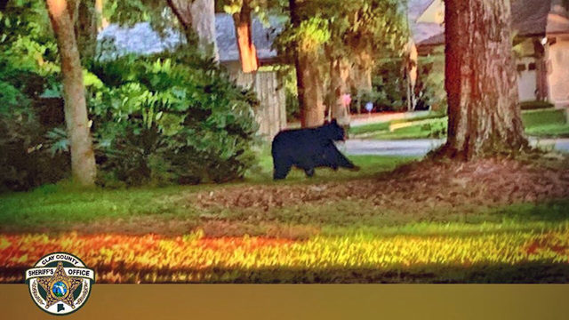 Unexpected visitor? Black bear spotted in Clay County neighborhood