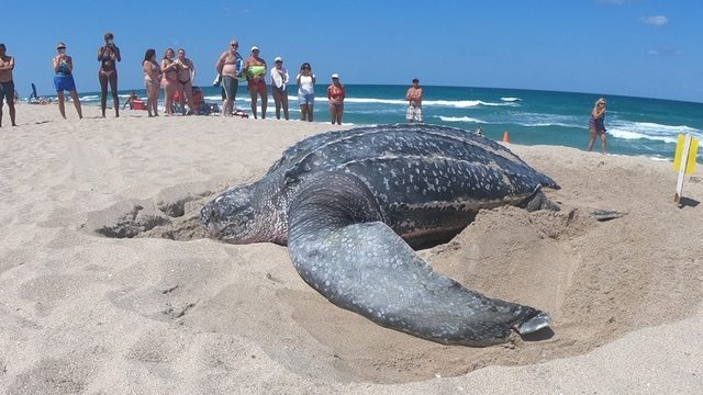 Giant leatherback sea turtle spotted nesting on Florida beach