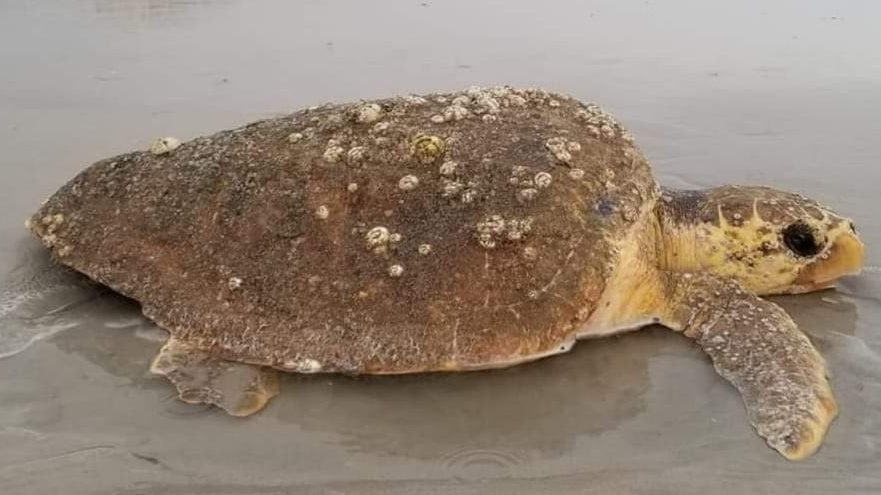 Don't put them back! What to do if you find a stranded sea turtle