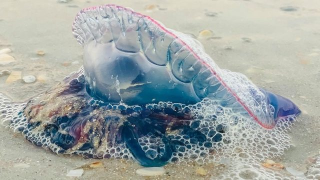 Increased Man-O-War sightings ahead of busy weekend