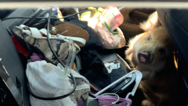 Pig found locked in hot car outside Florida mall