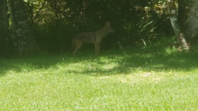 St. Johns County man spots coyote in backyard
