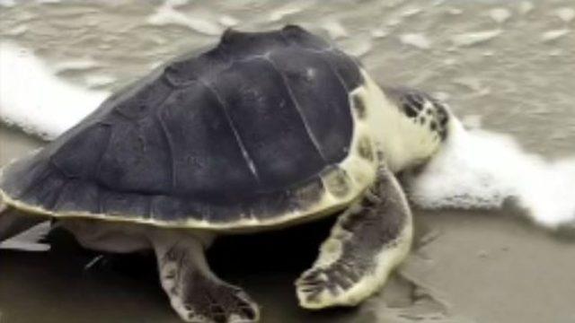 Sea turtles nest at record pace along Georgia coast