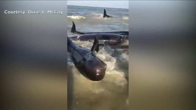 Crews follow pod of pilot whales after St. Simons Island strandings