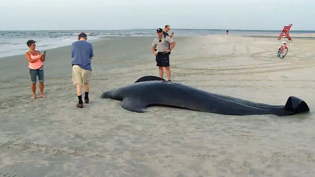 Why did whales beach themselves in Georgia? No answers yet