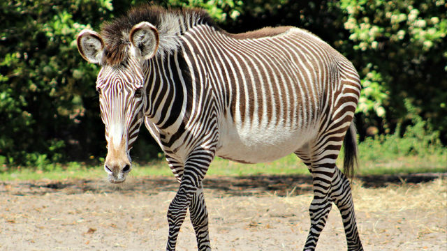 Jacksonville Zoo mourns loss of 25-year-old Grevy's zebra