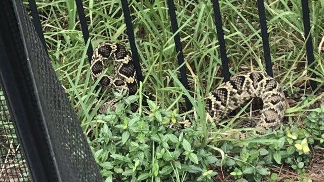 Diamondback rattlesnake removed from Middleburg backyard