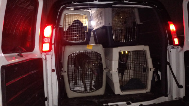 Nassau Humane rescues some of 97 dogs saved in Bahamas home