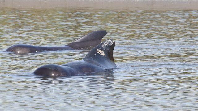15 pilot whales dead in Georgia's 2nd mass stranding since July