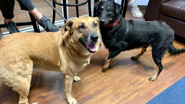 Abandoned dogs from Bahamas up for adoption in Nassau County