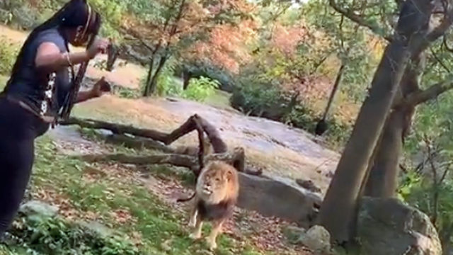 Video: Woman climbs into zoo exhibit, taunts lion